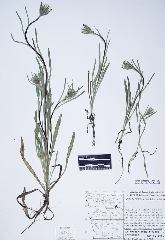Achyrachaena image