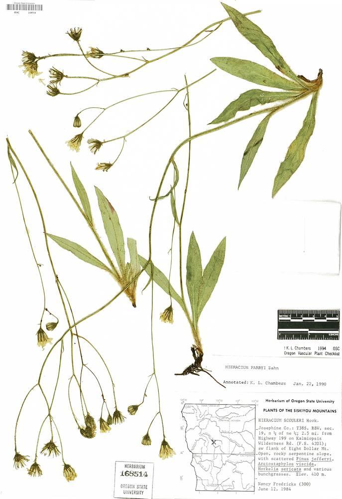 Hieracium parryi image