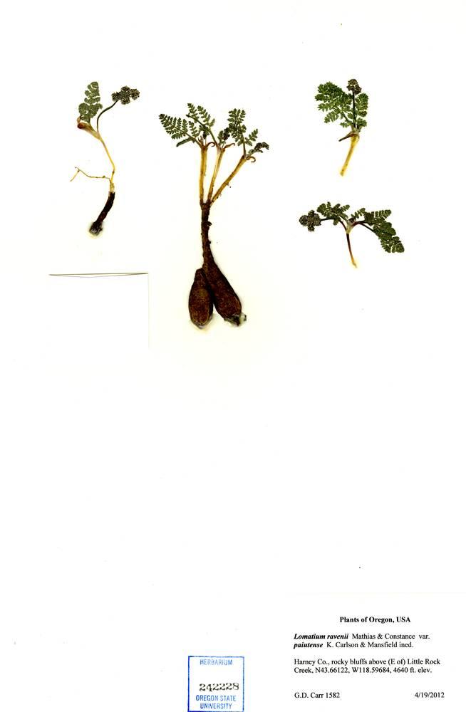 Lomatium ravenii var. paiutense image