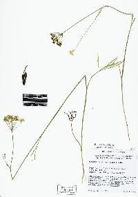 Perideridia oregana image
