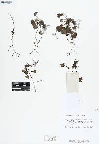 Romanzoffia sitchensis image
