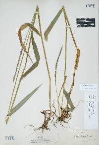 Image of Elymus glaucus