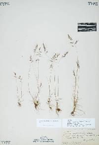 Festuca microstachys image