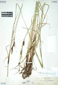 Image of Carex angustata