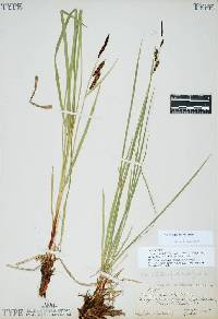 Image of Carex aquatilis