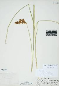 Image of Carex cusickii