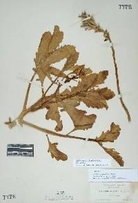 Image of Cakile edentula