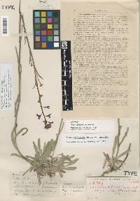 Image of Boechera sparsiflora