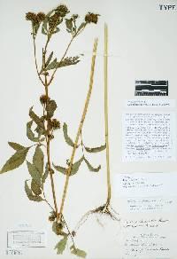 Image of Bidens frondosa