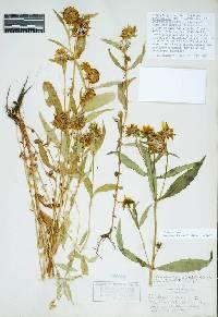 Image of Bidens cernua