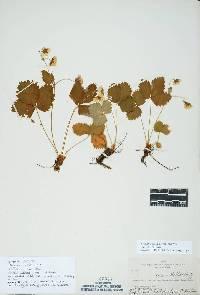 Image of Fragaria vesca