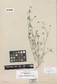 Image of Trifolium oliganthum