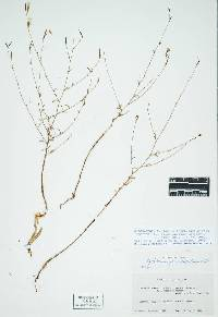Image of Epilobium brachycarpum