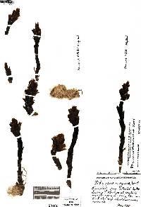 Pityopus californicus image