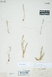 Image of Alopecurus saccatus