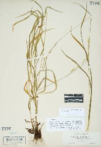 Image of Bromus vulgaris