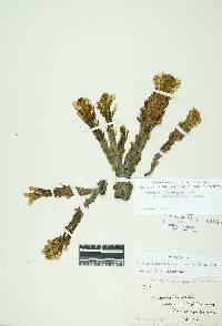 Aphyllon corymbosum image