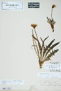 Image of Agoseris parviflora