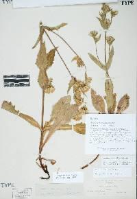 Image of Arnica spathulata