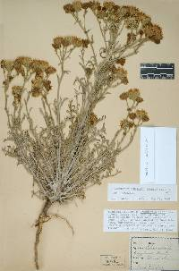 Image of Chaenactis douglasii