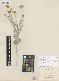 Image of Baileya pleniradiata