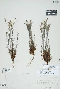 Image of Cryptantha flaccida