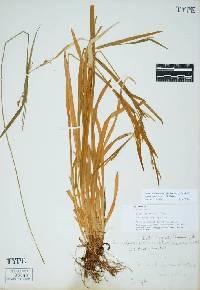 Image of Carex hendersonii