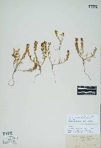 Image of Lepidium nitidum