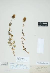 Image of Monardella sheltonii