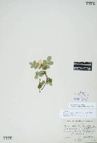 Rosa spithamea image