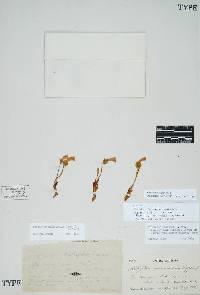 Image of Aphyllon purpureum