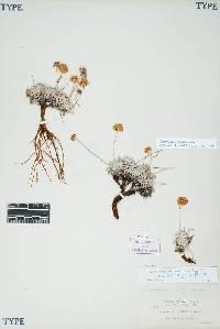 Image of Eriogonum ovalifolium