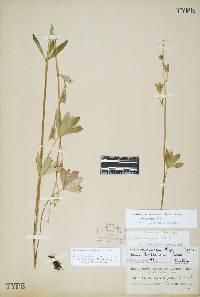 Image of Delphinium depauperatum