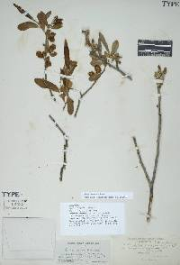 Image of Salix laevigata