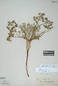 Image of Lomatium macrocarpum