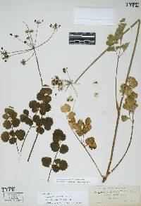 Lomatium howellii image
