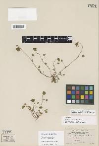 Image of Trifolium macraei