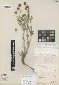 Image of Trifolium longipes