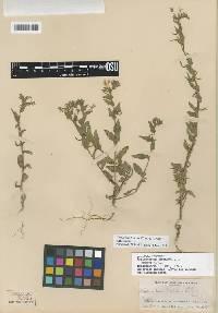 Image of Camissoniopsis bistorta