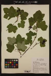 Image of Ribes sanguineum