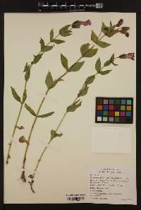 Image of Erythranthe lewisii