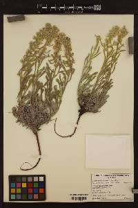 Image of Cryptantha celosioides