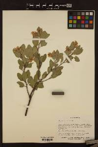 Image of Arctostaphylos canescens