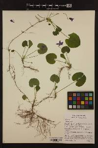 Image of Viola odorata