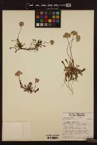 Image of Calyptridium umbellatum