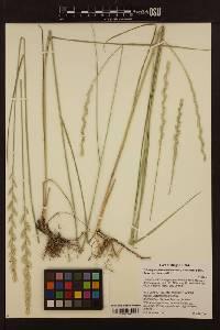 Image of Elymus hispidus
