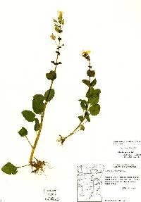 Image of Erythranthe guttata