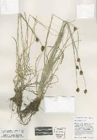 Image of Carex abrupta