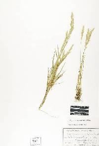 Image of Agrostis microphylla