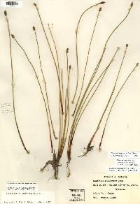 Image of Eleocharis macrostachya